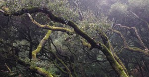Moss covered madrone trees