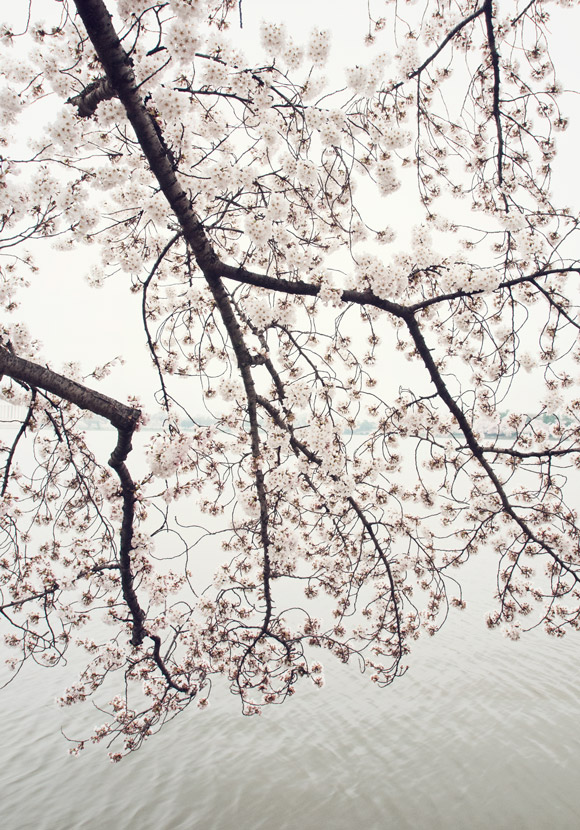 Cherry blossoms at the Tidal Basin in DC