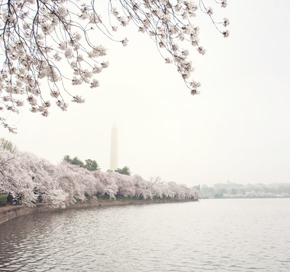View of the Washington Memorial and cherry blossoms