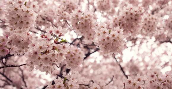 Japan's Sakura – Cherry Blossoms