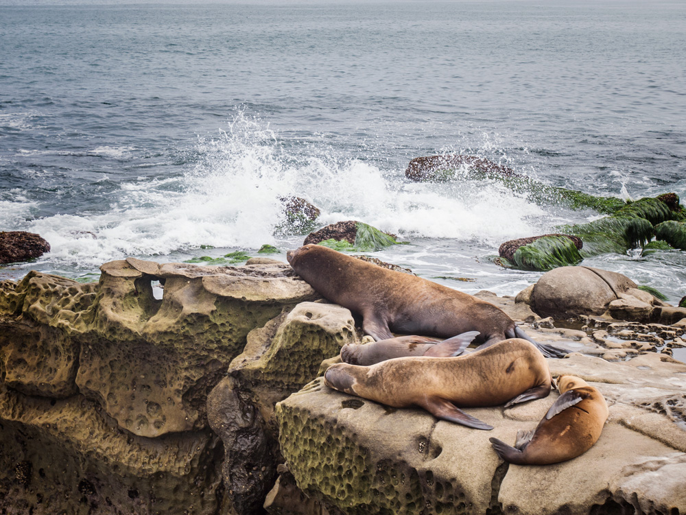 Sea Lions At La Jolla Cove Ca